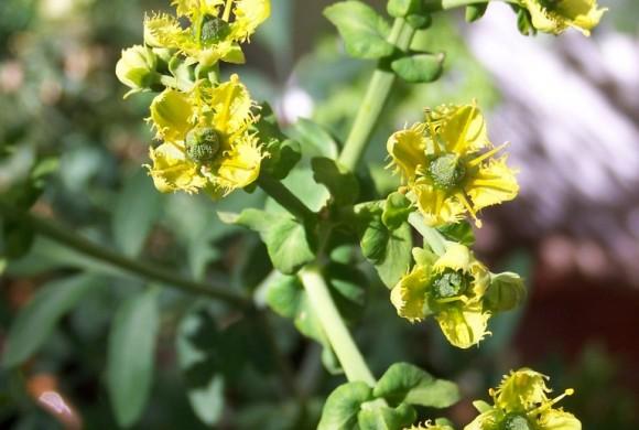 Blühende Weinraute - Ruta Graveolens